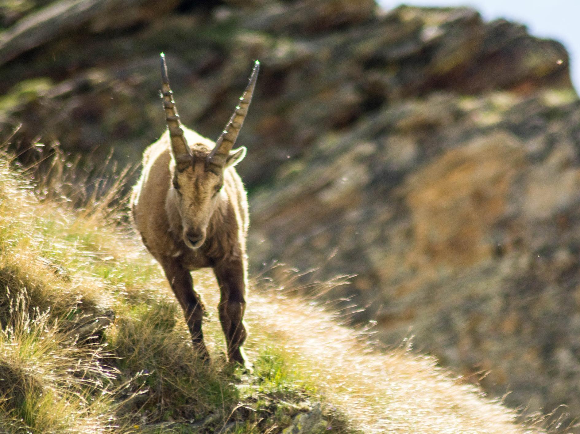 ibex-run