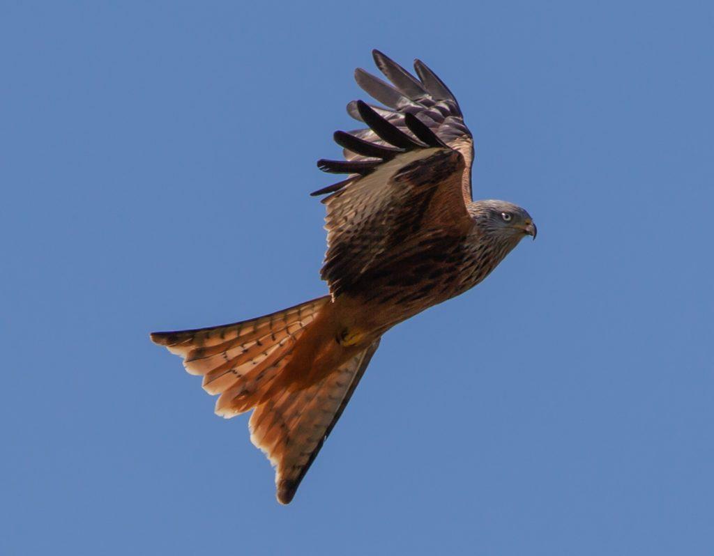 red kite 4971729 1920